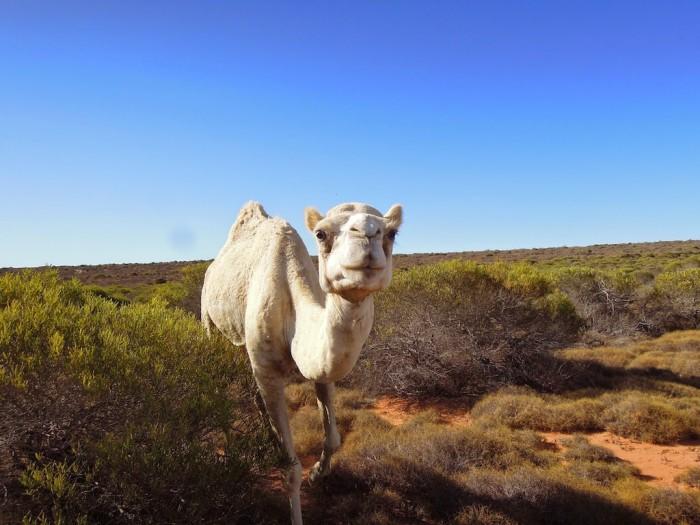 camels06