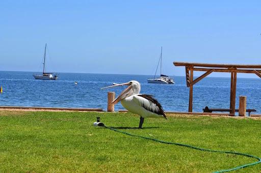 pelican01