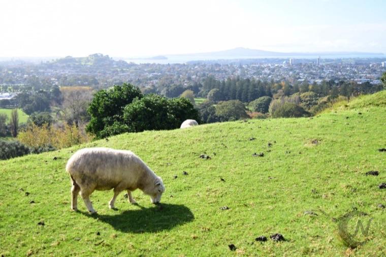One Tree Hillの羊。遠くに見えるのはランギトト島